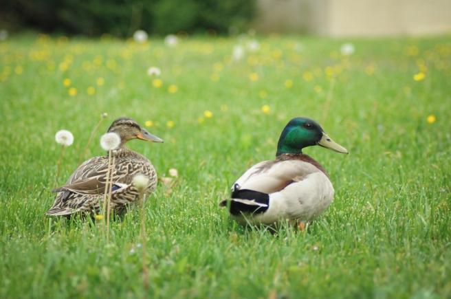 Duck-7
